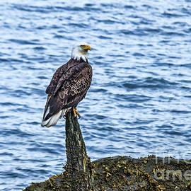 A Resting Bald Eagle by Robert Bales