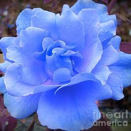 A Romantic Blue Rose by Chad and Stacey Hall