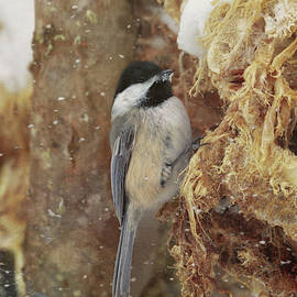 A Snowy Chickadee by Susan Rissi Tregoning