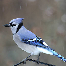 Trina Ansel - A Snowy Day with Blue Jay