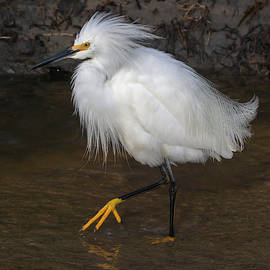 A Snowy Egret 4/8 by Bruce Frye
