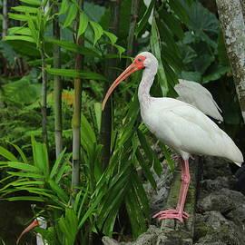 A South Florida Ibis by Dora Sofia Caputo Photographic Design and Fine Art