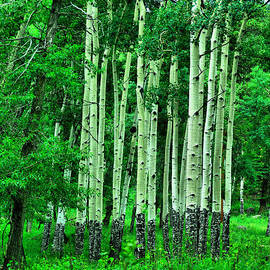 A stand of aspens by Jeff Swan