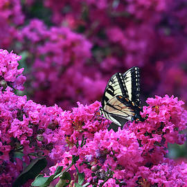 A Swallowtail Butterfly On The Crape Myrtle by Trina Ansel