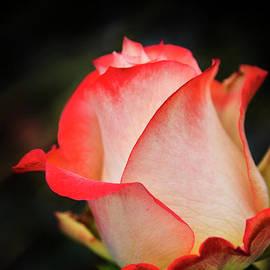 A Trebol Rose by Al Bourassa