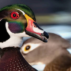 Paul Martin - A Wood Duck Portrait.