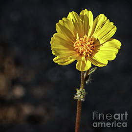 A Yellow Beauty by Robert Bales