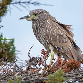 A Young Black-Headed Night Heron by Bruce Frye
