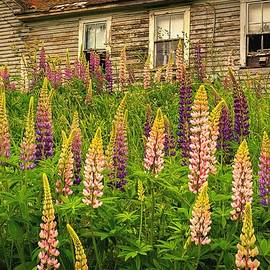 Abandoned Maine Farm Lupines by John Vose