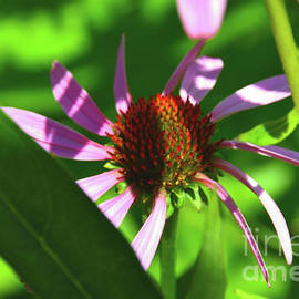Abstract Coneflower by Robyn King