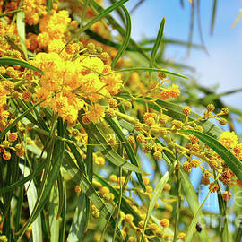 Acacia pycnantha, Golden Wattle, is Australia's floral emblem by Milleflore Images