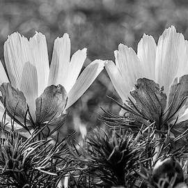 Adonis Vernalis In Monochrome by Andreas Levi