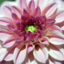Adorable Creme Pink Dahlia From The Garden by Johanna Hurmerinta