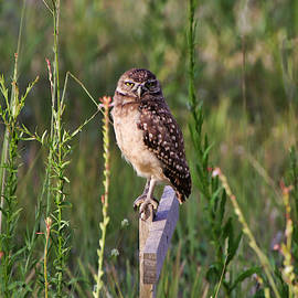 Adult Burrowing Owl by Rosalie Scanlon
