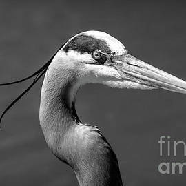 Adult Great Blue Heron Close Up Portrait high-res BW by Stefano Senise