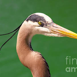 Adult Great Blue Heron Close Up Portrait high-res by Stefano Senise