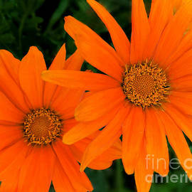 African Daisies by Kathy M Krause
