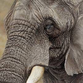 African Elephant by Alan M Hunt
