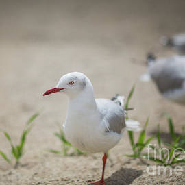 African Grey-Headed Gulls by Eva Lechner
