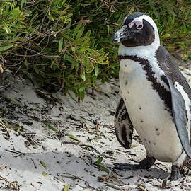 African Penguin by Douglas Wielfaert