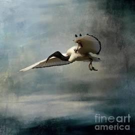 African Sacred Ibis in Flight-2 by Eva Lechner