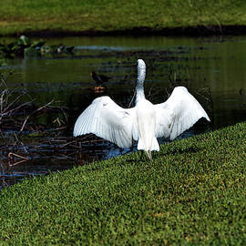 After The Landing - Great Egret by William Tasker