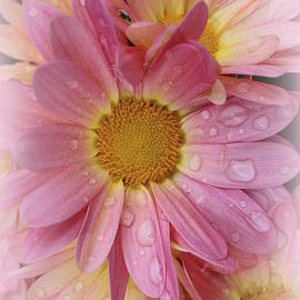 Dora Sofia Caputo Photographic Design and Fine Art - After the Rain - Pink Mums