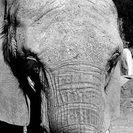 Glenn McCarthy Art and Photography - Aged Friend - Elephant