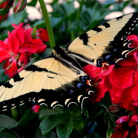 All Aflutter - Swallowtail Butterfly by Arlane Crump
