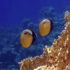 Amazingly Beautiful Red Sea Exquisite Butterflyfish  by Johanna Hurmerinta