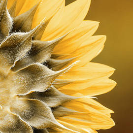 Amber Sunflower by Christina Rollo