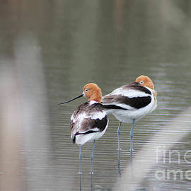 American Avocets by Nick Bonse