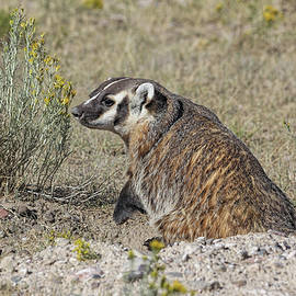 American Badger  by Jennie Marie Schell