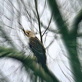 American bald eagle by Geraldine Scull