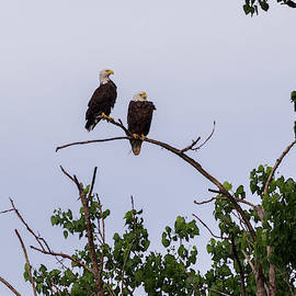American Bald Eagles - 5529 by Jerry Owens