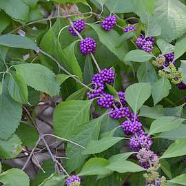 American Beauty Berries Already Reached Peak Season by Ruth Housley