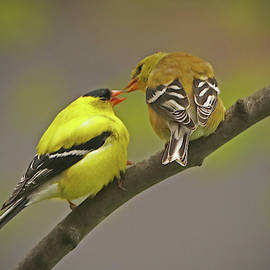 American Goldfinch Mates by Ira Marcus