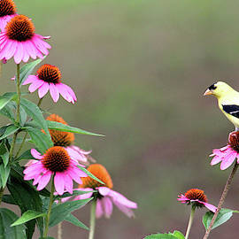 Trina Ansel - American Goldfinch on the Coneflowers