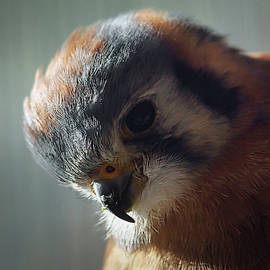 American Kestrel 6 by Ernie Echols