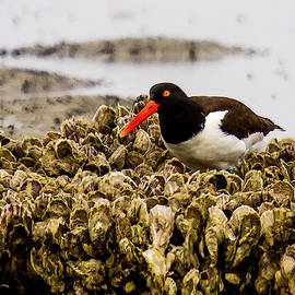 American Oystercatcher by Maggie Brown