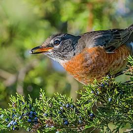 Morris Finkelstein - American Robin On Eastern Red Cedar