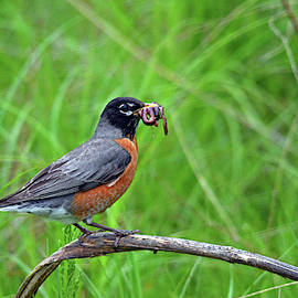 American Robin by Tim Tanner