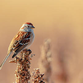 Mike Timmons - American Tree Sparrow - 2