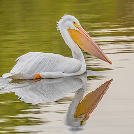 American White Pelican And Its Reflection by Morris Finkelstein
