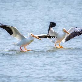 American White Pelican Dual Landing  by Debra Martz