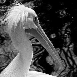 American White Pelican in Black and White by Judy Wanamaker