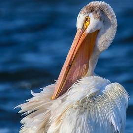 American White Pelican by Susan Rydberg