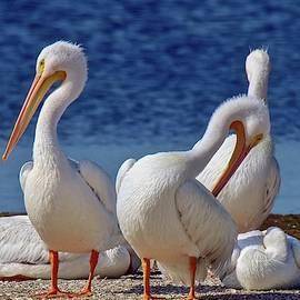 American White Pelicans by Susan Rydberg