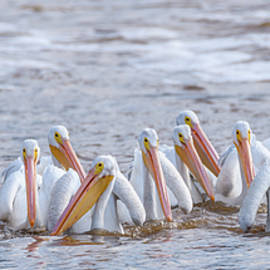 American White Pelicans Working Together by Debra Martz