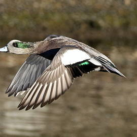 Rob Wallace Images - American Wigeon in flight